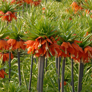 Fritillaria Imperialis Slagzwaard