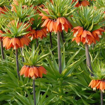 Fritillaria Imperialis William Rex