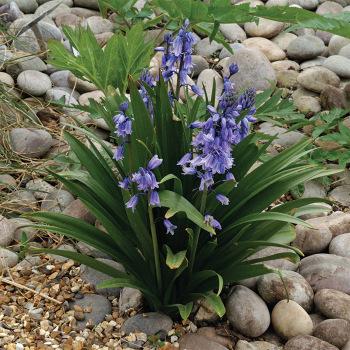 Hyacinthoides Indigo Blue