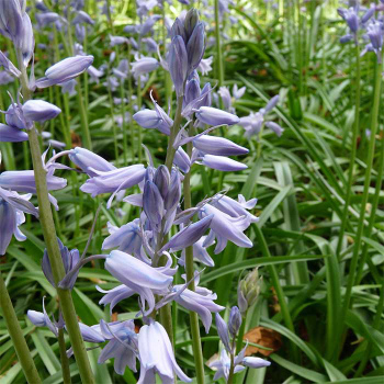 Hyacinthoides Light Blue
