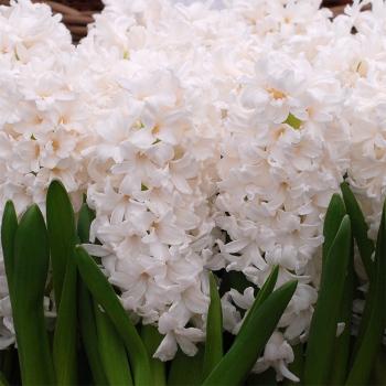 Aiolos Hyacinthus