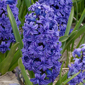 Crystal Palace Hyacinth
