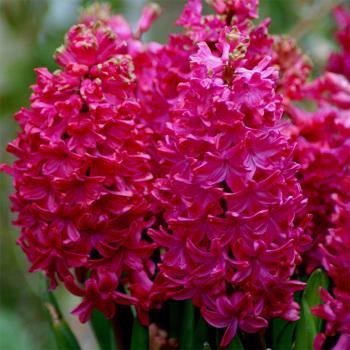 Jan Bos Hyacinth