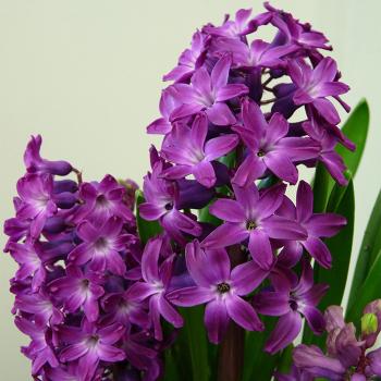 Kronos Hyacinth