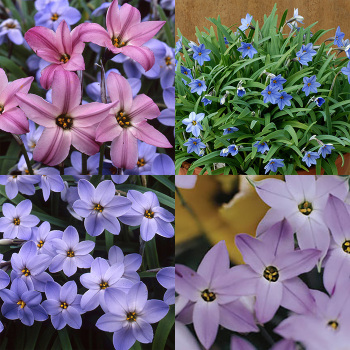 Ipheion Collection