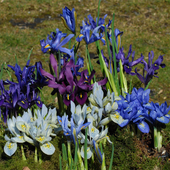 Iris Reticulata Mixed Varieties