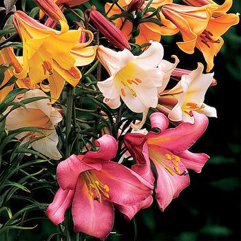 Aurelian Trumpet Lily Mix