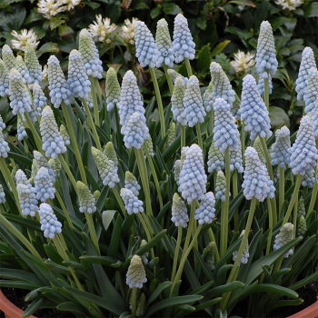 Muscari Armeniacum Peppermint