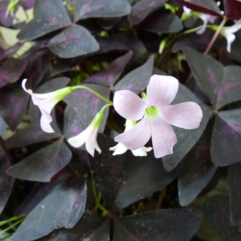 Oxalis Pink Regnelli (Triangularis)
