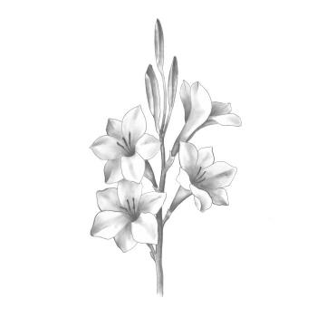 Watsonia Mixed Bugle Lily