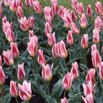 Ancilla Kaufmanniana Tulip