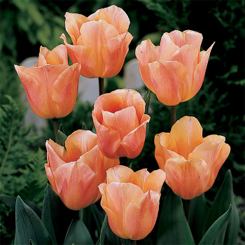 Apricot Beauty Single Early Tulip