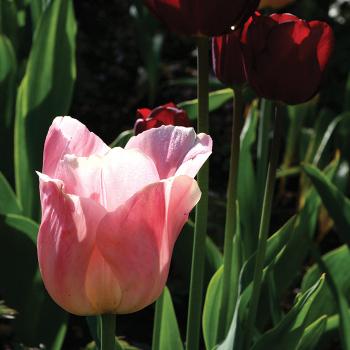 Beauty Queen Single Early Tulip