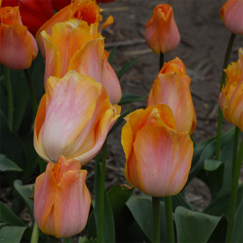 Bestseller Single Early Tulip