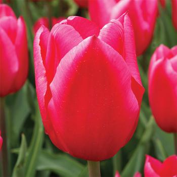 Christmas Marvel Single Early Tulip