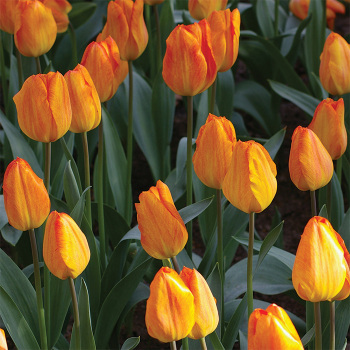 General De Wet Single Early Tulip