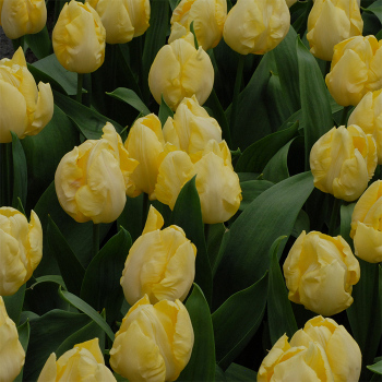 Sunny Prince Single Early Tulip