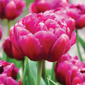 Double Dazzle Double Early Tulip