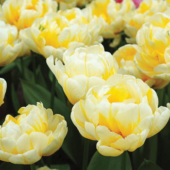 Flaming Evita Double Early Tulip