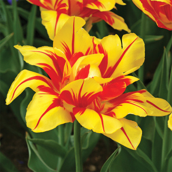 Monsella Double Early Tulip