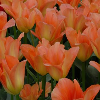 Apricot Emperor Fosteriana Tulip