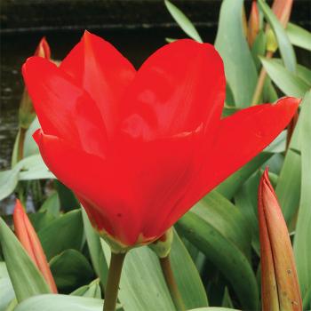 Madame Lefeber Fosteriana Tulip