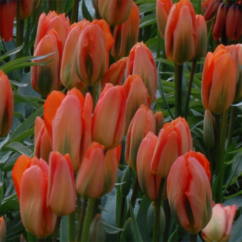 Orange Emperor Fosteriana Tulip