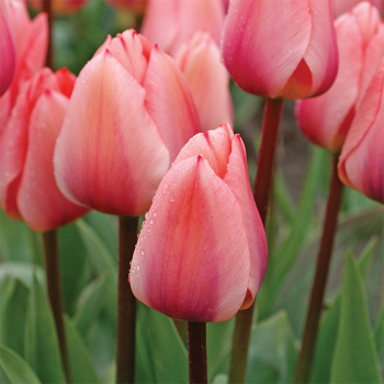Tottori Greigii Tulip