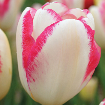 Graceland Triumph Tulip