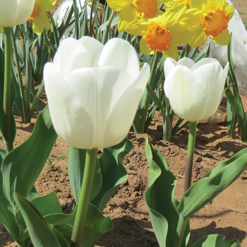 Hibernia Triumph Tulip
