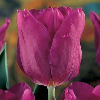 Passionale Triumph Tulip