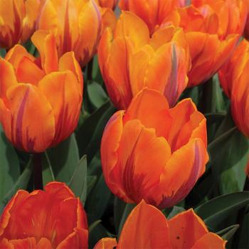 Prinses Irene Triumph Tulip