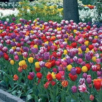 Warm Welcome Blend Tulips