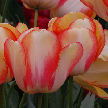 American Dream Darwin Hybrid Tulip