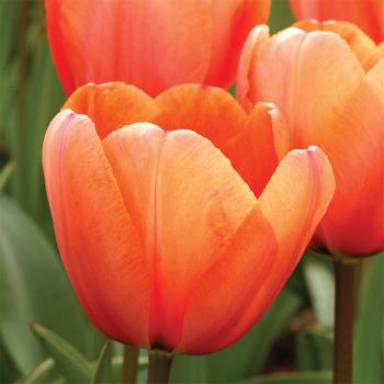 Apricot Impression Darwin Hybrid Tulip