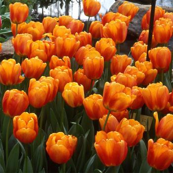 Blushing Apeldoorn Darwin Hybrid Tulip