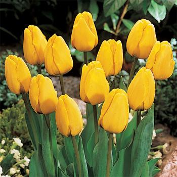 Golden Apeldoorn Darwin Hybrid Tulip