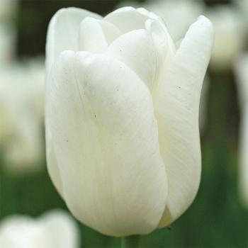Hakuun Darwin Hybrid Tulip