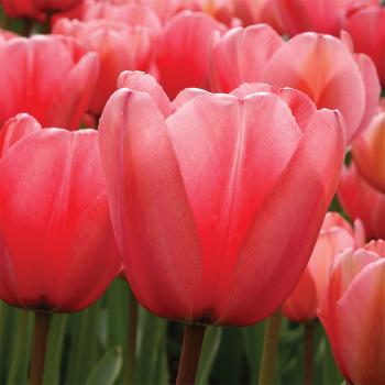 Pink Impression Darwin Hybrid Tulip
