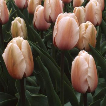 Salmon Impression Darwin Hybrid Tulip