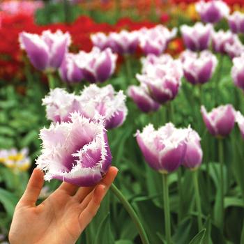 Cummins Fringed Tulip