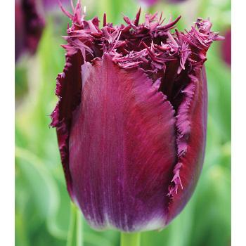 Purple Crystal Fringed Tulip