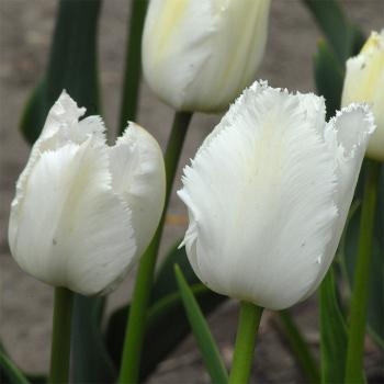 Swan Wings Fringed Tulip