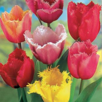 Fringed Mixed Tulips