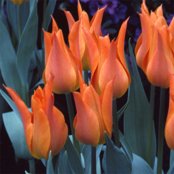 Ballerina Lily-Flowered Tulip