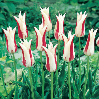 Marilyn Lily-Flowered Tulip