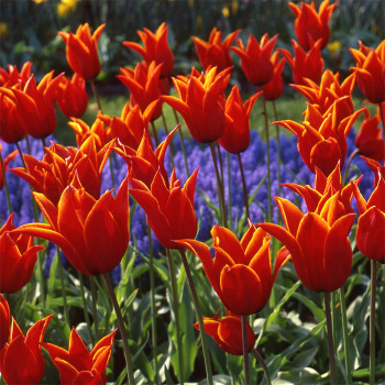 Queen Of Sheba Lily-Flowered Tulip