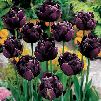 Black Hero Double Late Tulip