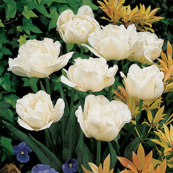 Mount Tacoma Double Late Tulip