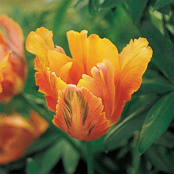 Orange Favorite Tulip